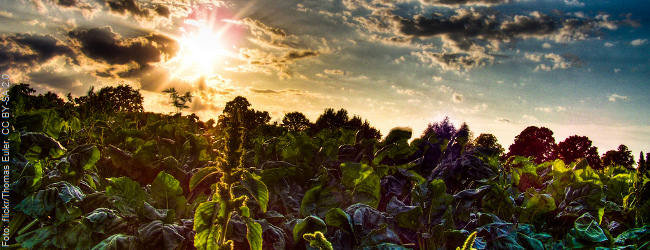 Gentechnik-Soja: Monsanto verliert Anbaugenehmigung in Mexiko