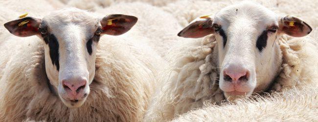 """Fragwürdige """"europäische Werte"""": Tiere sollen weiter geschächtet werden dürfen"""